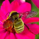 Yellow bumble bee - Bombus pensylvanicus