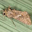 Ni Moth - Trichoplusia ni