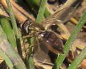 unidentified insectx1640 - Toxomerus marginatus