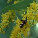 wasp with a round abdomen - Leucospis affinis - female