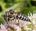 Cuckoo bee Coelioxys sp. - Coelioxys