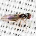 Tiny Fly - Mumetopia occipitalis