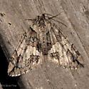 Faded moth - Hydriomena crokeri