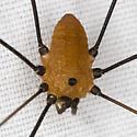 Leiobunum 2312 - Leiobunum nigropalpi
