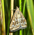 Yellow moth - Loxostege munroealis