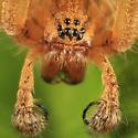 spider - Agelenopsis utahana - male