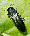 Beetle ID please... - Agrilus cyanescens