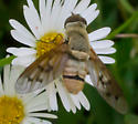 Dark-belted bee fly - Neodiplocampta