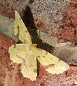 Genus Xanthotype - Xanthotype