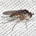 Long-legged Fly - female