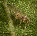 Bark Louse - Ectopsocus californicus