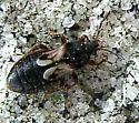 Bug  - Blissus leucopterus