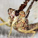 Pretty Mayfly - Callibaetis pretiosus