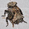 Unknown nymph - Poblicia fuliginosa