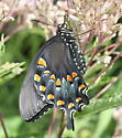 Newly emerged at McCormick's Creek State Park - Papilio troilus