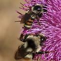 Large and medium bees - Bombus bifarius