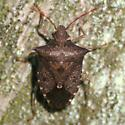 Red-shouldered Stink Bug - Dorsal - Euschistus tristigmus