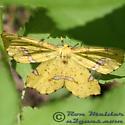 Geometrid Moth - Xanthotype - female