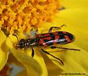 Beetle - Trichodes ornatus