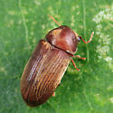 Death-watch  Beetle - Euvrilletta harrisii