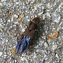 Hymen*optera ... not!  Rove Beetle - Platydracus maculosus