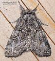 Noctuidae - Raphia frater