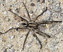 wolf spider - Geolycosa - male