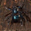 Beautiful carpenter bee - Xylocopa californica - male