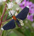 Orange-collared Scape Moth  - Melanchroia chephise