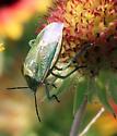 Say's Stink Bug - Chlorochroa sayi
