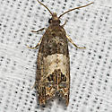 Eye-spotted bud moth - Hodges#2906 - Spilonota ocellana