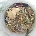 Wood Roaches - Parcoblatta pennsylvanica - male - female