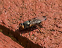 small fly sp.