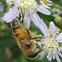 Not a bee - Syrphid? - Eristalis tenax