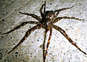 Is this Dolomedes tenebrosus? - Dolomedes