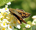 Fiery Skipper - Hylephila phyleus - female