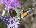 Proserpinus Clarkiae (Clark's Day Sphinx Moth) - Proserpinus juanita - male