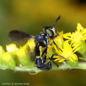 Neat Fly on Goldenrod - Physoconops obscuripennis - female
