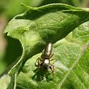 Spider ID Request - Tutelina elegans - female