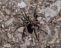 Ground spider sp.? - Castianeira