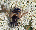 Need a fly id please - Eristalis stipator