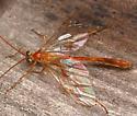 ichneumon - Enicospilus purgatus - female