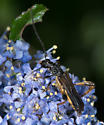 7848 - Callimoxys fuscipennis