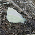Pack Pierinae 7.11.2009 01 - Pieris marginalis