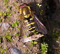 Syrphus? - Syrphus opinator - male