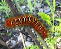 Everglades Caterpillar - Seirarctia echo