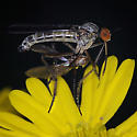 Dance Fly (Empididae), sp - Empis - male