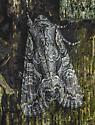 Lacanobia subjuncta