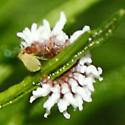 Dusky Lady Beetle Larva (Mealy Bug Destroyer) - Cryptolaemus montrouzieri