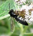 A bee or a fly? - Bicyrtes quadrifasciatus